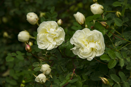 blooming Bush of white rose buds and flower 版權商用圖片 - 125472558