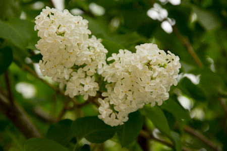 branch  large flowers white lilac among green leaves Stock fotó