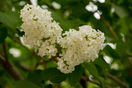branche grandes fleurs lilas blanc parmi les feuilles vertes