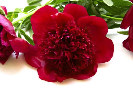 terry red flower peony isolated 版權商用圖片