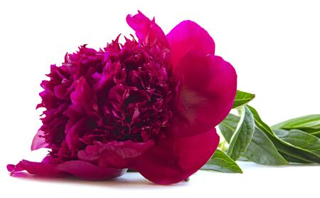 terry purple flower peony isolated 版權商用圖片