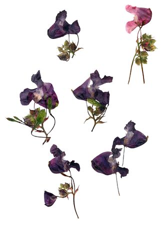 Pressed dry pink  purple flowers petal blossom broken heart  set isolated