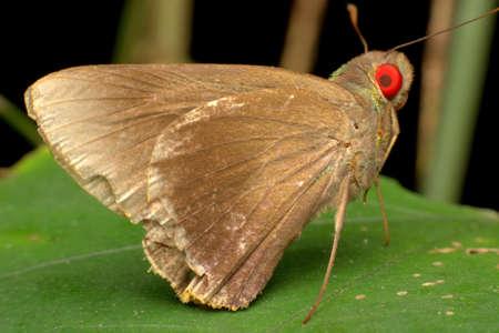 red eye: Moth Red Eye