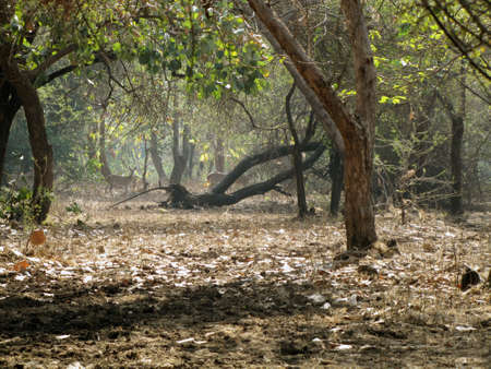 asiatic: spotted deers in Gir Asiatic Lions Sanctuary