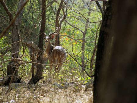gir: spotted deers in Gir Asiatic Lions Sanctuary
