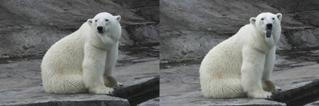 Collage of two photos. The polar bear stuck out his tongue. Before and after. Funny emotions in animals.