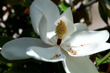 White magnolia blossom on magnolia tree. Magnolia grandiflora. Botany. Closeup.