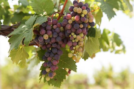 Raisins non mûrs. Une grappe de raisin multicolore sur la vigne sous les rayons lumineux du soleil du matin. Fermer. Mise au point sélective. Banque d'images