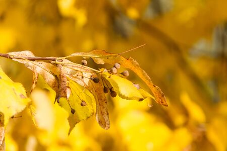 Gold autumn. Sprig of linden on a sunny day. Bright yellow autumn leaves.