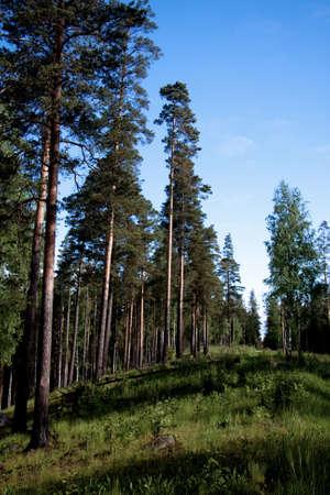 fur trees: fur trees