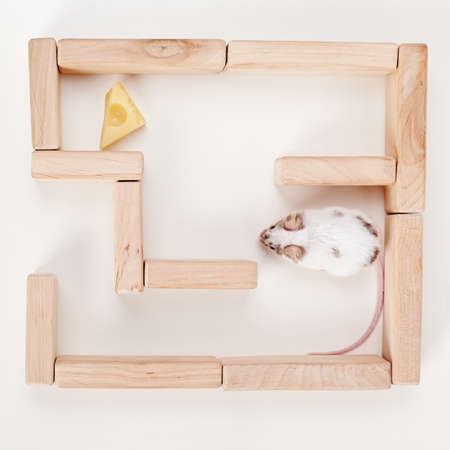 smart mouse in maze looking for cheese photo
