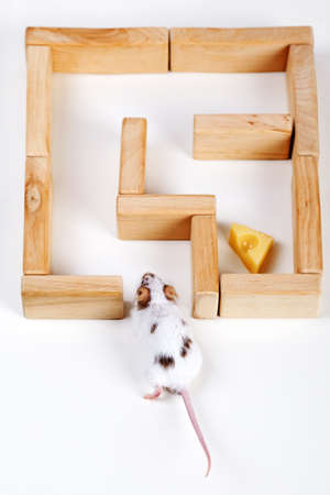 mouse trap: smart mouse in maze looking for cheese