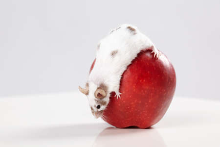 little funny mouse on big red apple photo