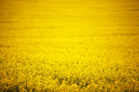 yellow  agriculture: violaci?n campo