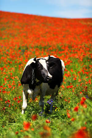 Green field with cow in summer photo
