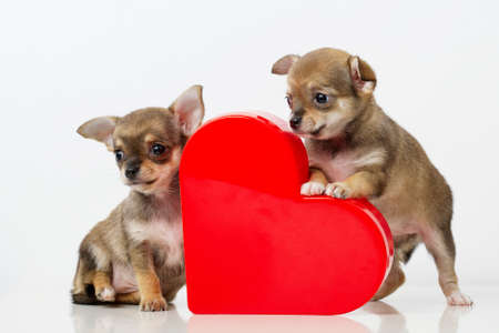 photo of cute puppies Chihuahua with red heart Foto de archivo