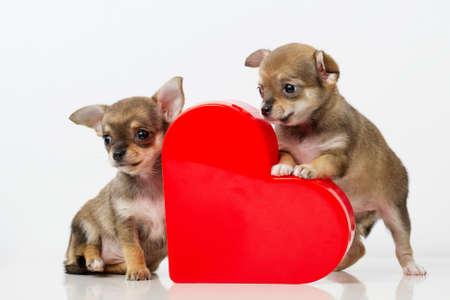 dog days: foto de perritos lindos de la chihuahua con el corazón rojo