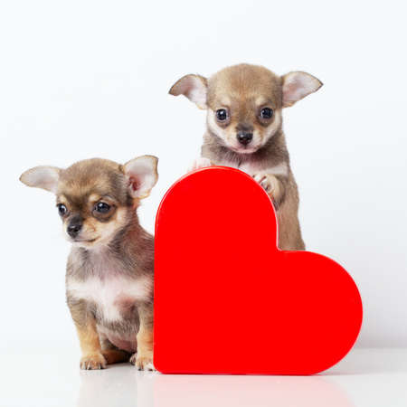 pets background: photo of cute puppies Chihuahua with red heart Stock Photo