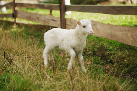 pasen schaap: cute little lamb on grass in the paddock