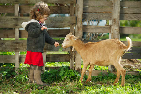 cute little girl feeding goat in the garden Фото со стока