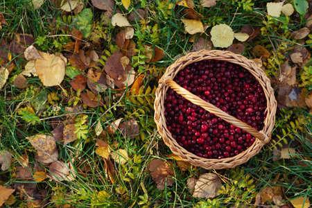 basketful: photo of cranberries basket on autumn leaves Stock Photo