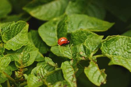 close-up larva of the Colorado potato beetle Фото со стока