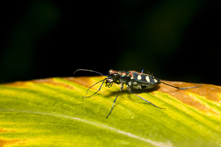 Closeup of asparagus beetle on green leaf. Selective focus and crop fragment.