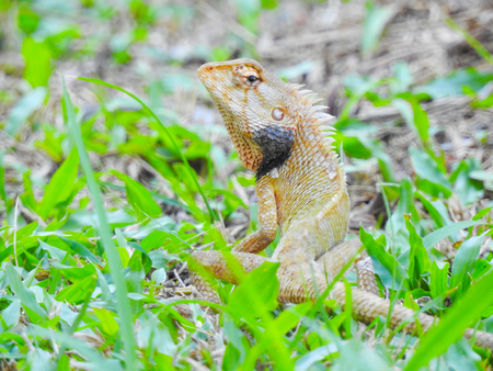Oriental Garden Lizard sitting on the green grass