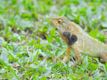 Oriental Garden Lizard sitting on the green grass