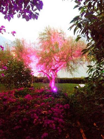 ピンクのイルミネーション ツリーです。 写真素材