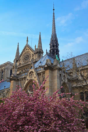Blossoming almond beside the cathedral Notre Dame de Paris. Paris