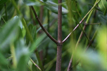 Mangrove Tree of Mangrove Forest. Mangrove planting activities at Lantebung, Makassar. Indonesia Stock Photo