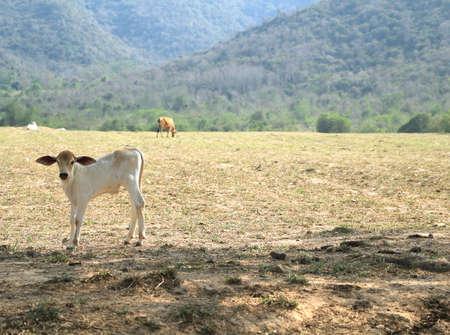 Baby-Kuh in einem Feld, den Schwerpunkt auf eine Kuh, die auf die Kamera Standard-Bild - 57049500