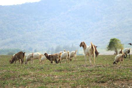 Ziegen essen Gras in einem Feld, selektiven Fokus auf eine lächelnde Ziege und der Suche nach einer Kamera. Standard-Bild - 57049499