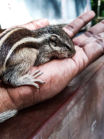 How to care for baby squirrel. The squirrel has fallen from the tree and has been healed and is being weaned. Stock fotó