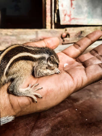 How to care for a baby squirrel, the squirrel has fallen from the tree and has been healed and is being weaned. 免版税图像 - 144991117