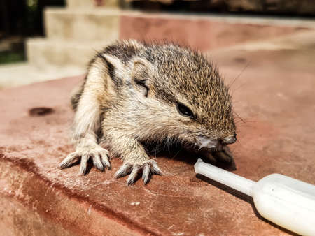 How to care for a baby squirrel. The squirrel has fallen from the tree and has been healed and is being weaned.