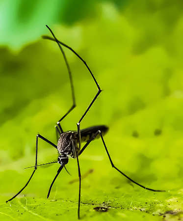 A gray color mosquito siting on the green leaves in the garden and green background.