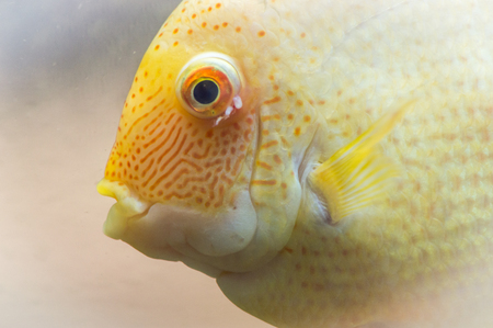 The blood parrot is a hybrid of the midas and the redhead Cichlid. This beautiful hybrid fish was first created in fresh water aquarium in Taiwan. Stock Photo