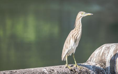 A Pond Heron (Ardeola) basking in the sun beside a lake 版權商用圖片