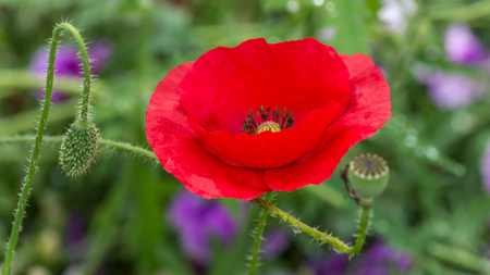 Papaver rhoeas common names include corn poppy , corn rose , field poppy , Flanders poppy , red poppy , red weed , coquelicot Stok Fotoğraf