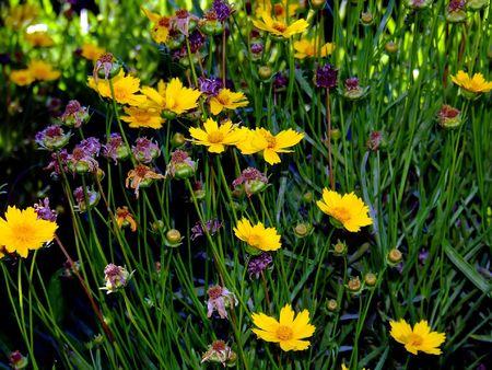 daisys: yellow daisys 2 Stock Photo
