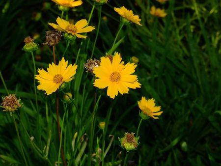 daisys: yellow daisys