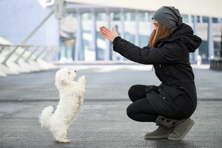 beg: pretty young woman exercises with white maltese dog to sit up and beg
