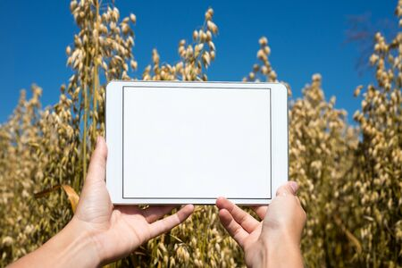 oat field: Hands holding tablet in oat field during summer