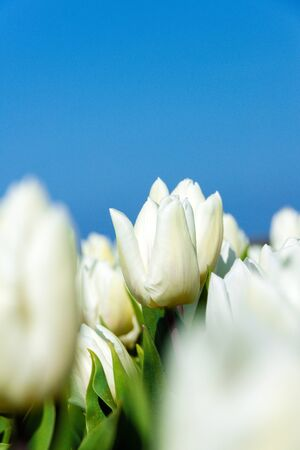 texel: Closeup of white tulips with blue sky as background on Texel Stock Photo