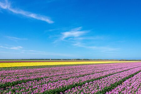 texel: View over fields with white, purple and yellow tulips on Texel Stock Photo