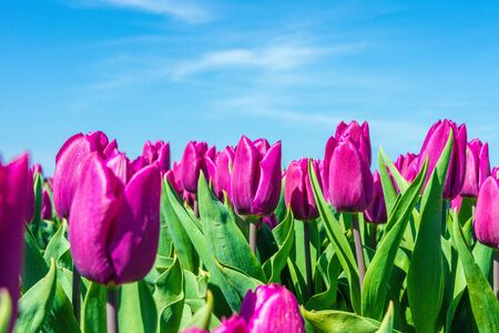 texel: Closeup of purple tulips on Texel with blue sky as background Stock Photo