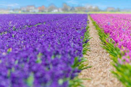 texel: View at blue and purple fields of hyacinths  on Texel