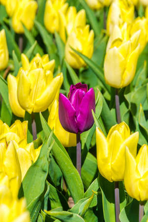 texel: Yellow tulips with one purple tulip in between on Texel Stock Photo